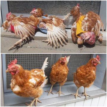 Hühnerrettung helfen - Fördermitglied werden