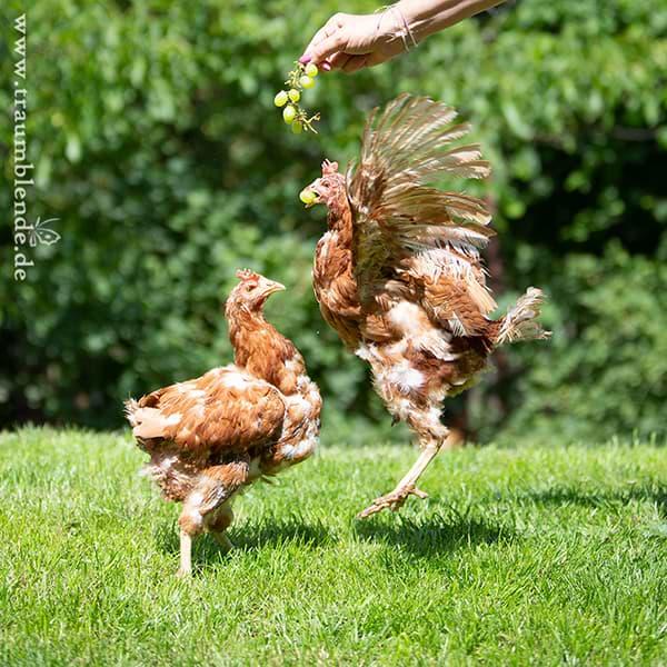 Hühnerhaltung - Wichtige Infos - Abbildung Hühner auf Rasen