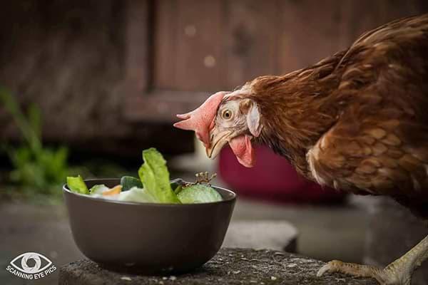 Hühnerhaltung - Wichtige Infos - Nahrung