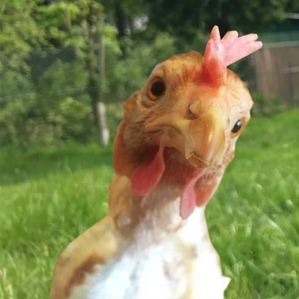 Hühnerrettung helfen Patenschaft