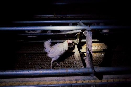 Abbildung Hühnerrettung vom 11.07.2020